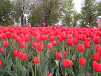 Highlight for Album: Tulip Festival 2006 by Irene Abedrapo